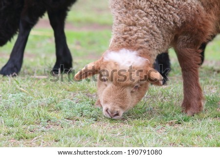 Grazing sheep (Ovis aries) in the spring pasture