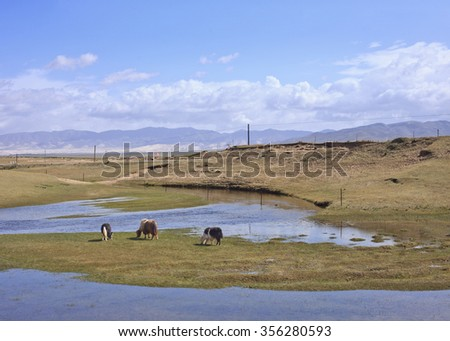 Grazing Yaks in the vast wetlands of Qinghai, China