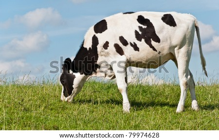 Grazing young Dutch cow at a grassy embankment against a blue sky with some white clouds