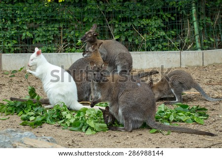 grazzing family of cute Red necked Wallaby, kangaroo with baby in bag and with white albino female - stock photo