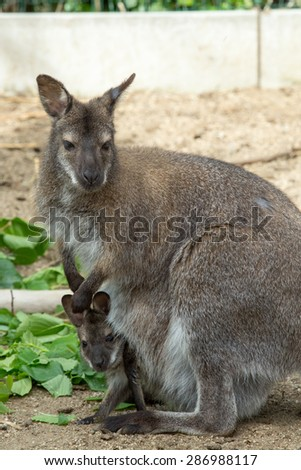 grazzing Red necked Wallaby, kangaroo with baby in bag