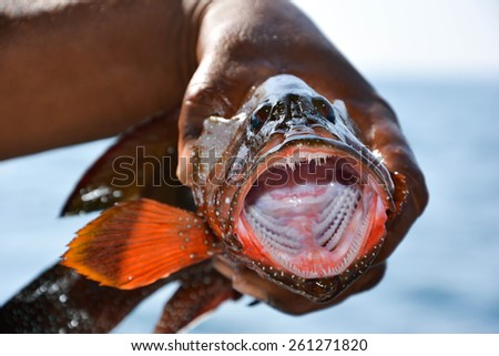 Greasy Grouper opening its mouth