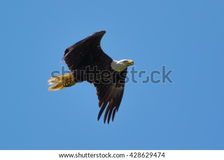 Great American Bald Eagle hunting over open water