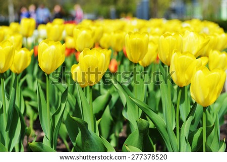 great amount of yellow tulips. tulips in typical landscape.