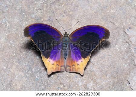 Great Assyrian (Terinos atlita) butterfly open wings on floor - stock photo