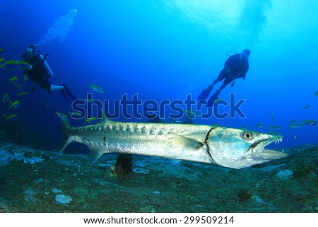 Great Barracuda fish and scuba divers - stock photo