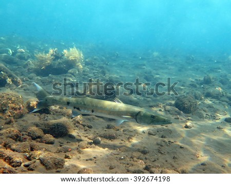 Great Barracuda fish in ocean Bali           - stock photo