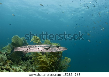 Great Barracuda on a Coral Reef - stock photo