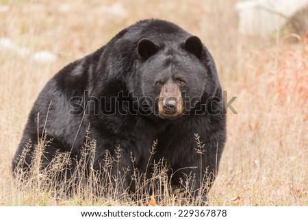Great Big Black Bear - stock photo