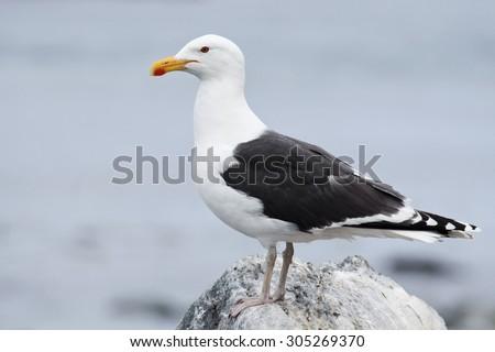 Great black-backed gull, Larus marinus - stock photo