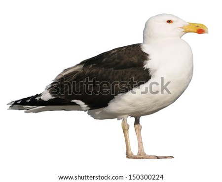Great Black-backed Gull (Larus marinus), viewed of profile, isolated on white background