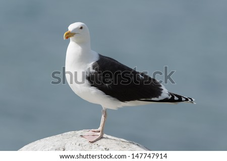 Great Black-backed Gull standing on a rock at the coast/Great Black-backed Gull