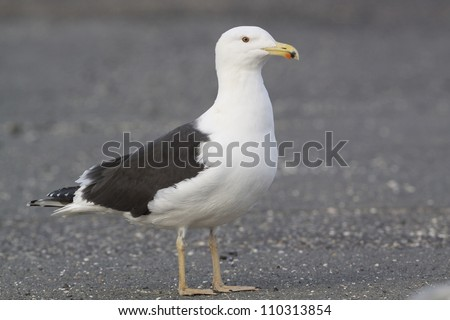 Great Black-backed Gull - the largest sea gull species in the world! - on the beach at Ocean City - stock photo
