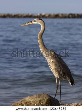 Great Blue Heron 3 - stock photo