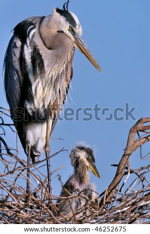 great blue heron adult and chick at nest against clear blue sky - stock photo