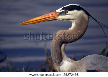 Great Blue Heron against blurred water background.