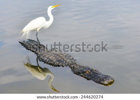 Great blue heron and alligator team up for food hunt in the river  - stock photo