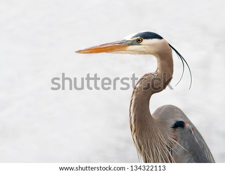 Great Blue Heron (Ardea herodias )