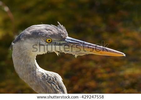 Great blue heron - [Ardea herodias] - stock photo
