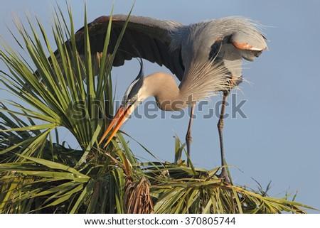 Great Blue Heron (Ardea herodias) Building a Nest in a Palm Tree - stock photo