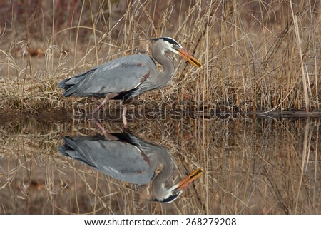 Great Blue Heron (Ardea herodias) Catching a Perch with nice reflection in water - Grand Bend, Ontario - stock photo
