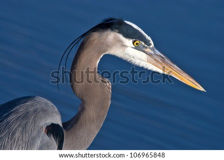 Great Blue Heron, Ardea herodias, closeup