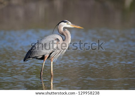 Great Blue Heron (Ardea herodias) - Fort Myers Beach, Florida - stock photo