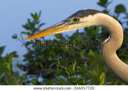 Great blue heron (Ardea herodias) hunting in the morning, Brazos Bend state park, Needville, texas, USA. - stock photo