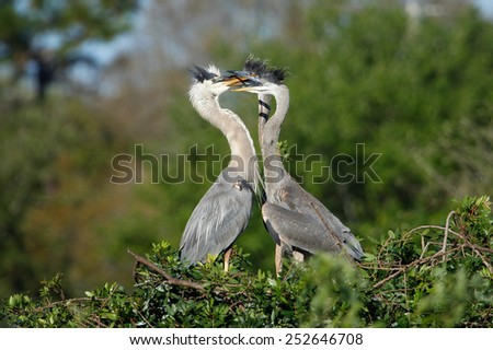 Great blue heron (Ardea herodias) in the nest with chicks - stock photo