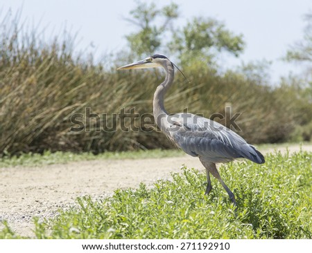 Great blue heron, Ardea herodias, in the San Joaquin wildlife sanctuary marsh in Irvine, Southern California in spring
