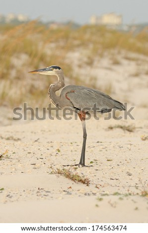 Great Blue Heron, Ardea herodias, looking for fish in the Gulf of Mexico near Pensacola, Florida
