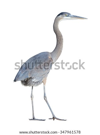 Great Blue Heron (Ardea herodias) on a white background with a clipping path - stock photo