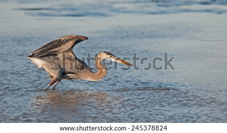 Great blue heron, ardea herodias, on the Potomac River at Arlington, Virginia, and Washington, D.C., crouching with wings extended upward - stock photo