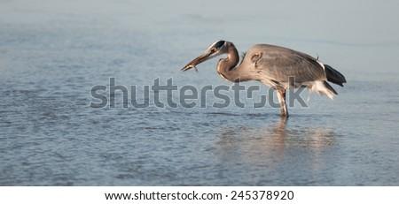 Great blue heron, ardea herodias, on the Potomac River at Arlington, Virginia, and Washington, D.C. - stock photo
