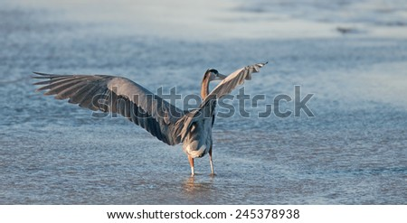 Great blue heron, ardea herodias, on the Potomac River at Arlington, Virginia, and Washington, D.C., with wings outspread - stock photo
