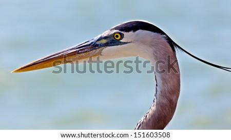 Great blue heron (Ardea herodias) portrait - stock photo