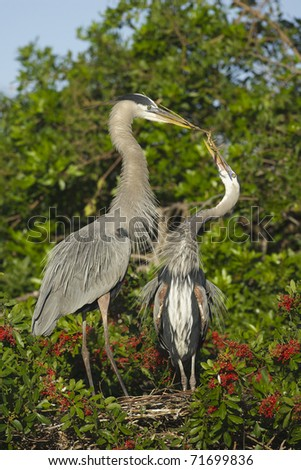 Great Blue Heron, Ardea herodias, presenting stick to female to build nest for mating season at Venice Rookery