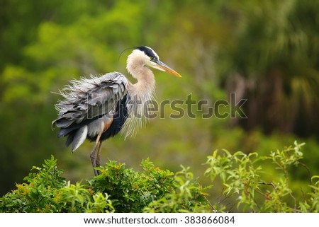 Great Blue Heron (Ardea herodias) ruffling its feathers. It is the largest North American heron. - stock photo