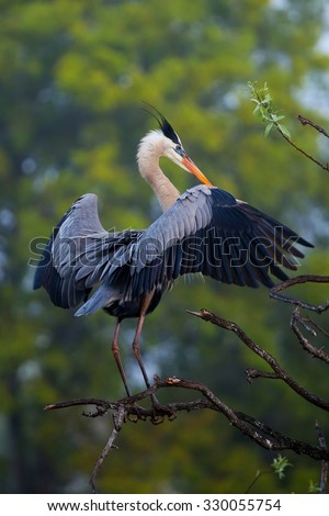 Great Blue Heron (Ardea herodias) spreading wings. It is the largest North American heron. - stock photo