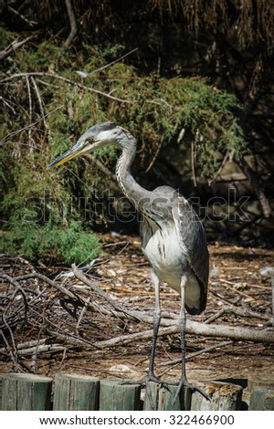 Great Blue Heron (Ardea herodias) Stalking its Prey from a Beaver Dam - Camargue, France - stock photo