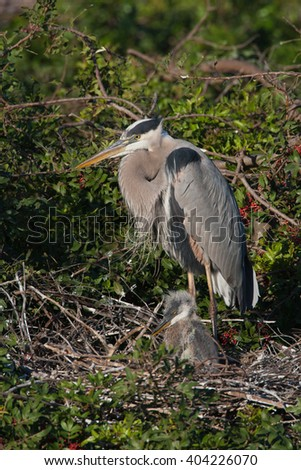 Great Blue Heron (Ardea herodias) standing on a nest with babies, nesting - stock photo