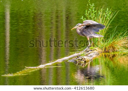 Great Blue Heron (Ardea herodias) standing on a small island in pond. It is the largest North American heron. - stock photo