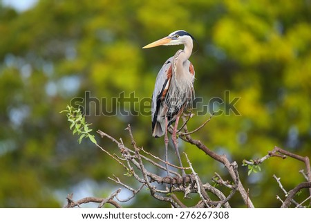 Great Blue Heron (Ardea herodias) standing on a tree branch. It is the largest North American heron.
