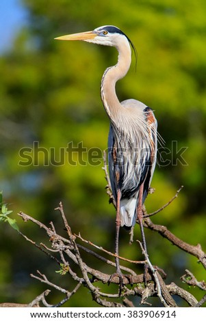 Great Blue Heron (Ardea herodias) standing on a tree branch. It is the largest North American heron. - stock photo