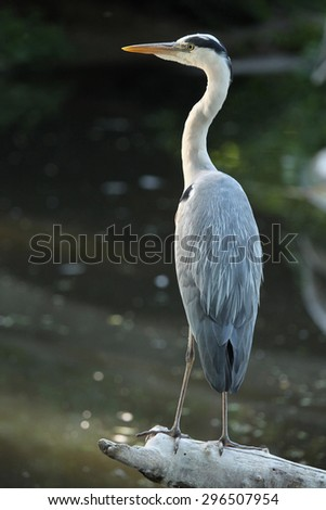 Great blue heron (Ardea herodias). Wild life animal. - stock photo
