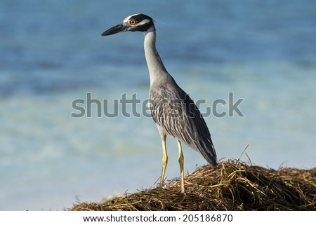 Great Blue Heron at the Beach - stock photo