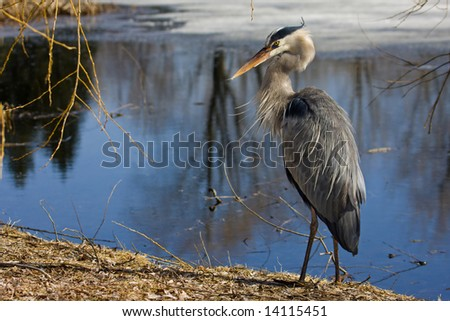 Great blue heron by the lake - stock photo