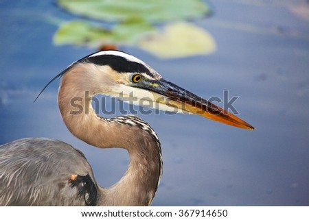 great blue heron close-up