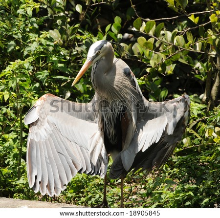 Great blue heron commonly seen in Florida - stock photo