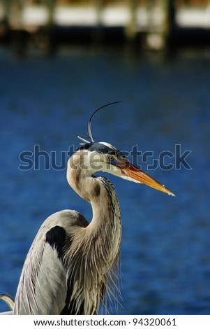 Great Blue Heron Crane